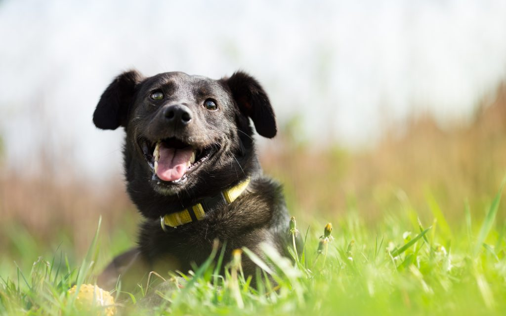 Genetics and nutrition play a role in canine DCM but we don't know the whole story